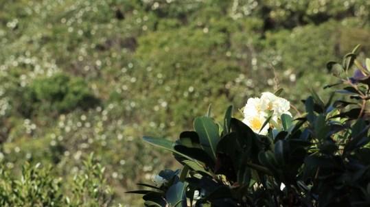 大頭茶花是香港山上常見的植物