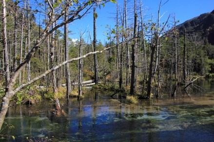 岳沢濕原的枯木