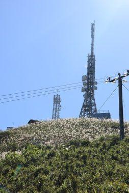 近山頂處佈滿了芒草 (Many silvergrasses near to the hillside of Kowloon Peak)