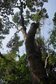 黃桐樹是這裡的優勢樹種