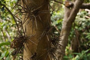 樹身長刺的小果皂莢