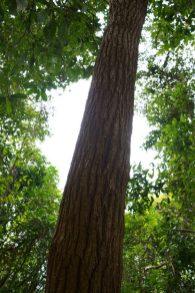 風水林常見的黃桐樹