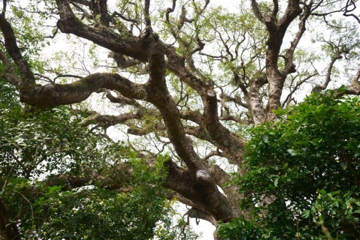 四百年的社山神木