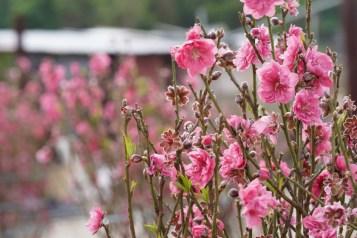 社山村的桃花園