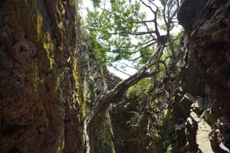 洞內的老榕樹