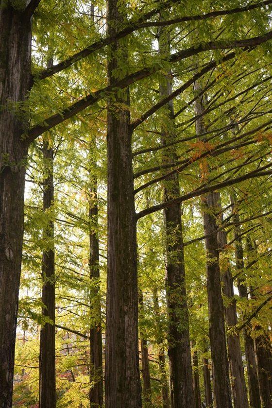 高大的水杉