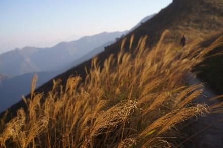 下山的路上有芒草相伴
