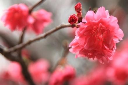 桃紅色的山櫻