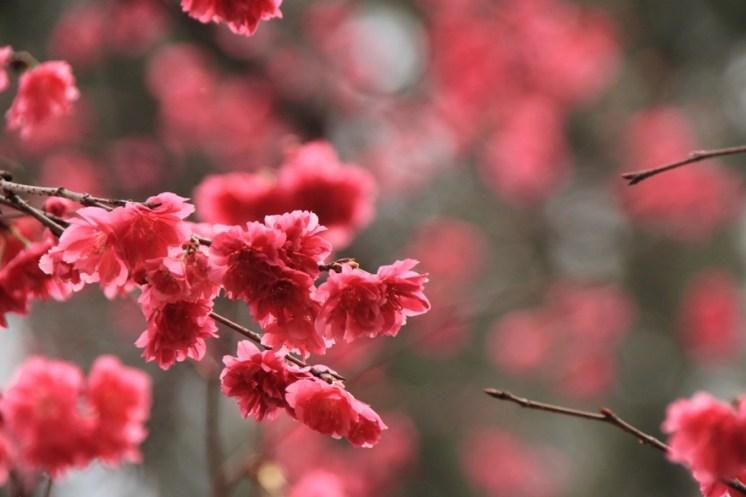 台灣山櫻又稱為緋寒櫻