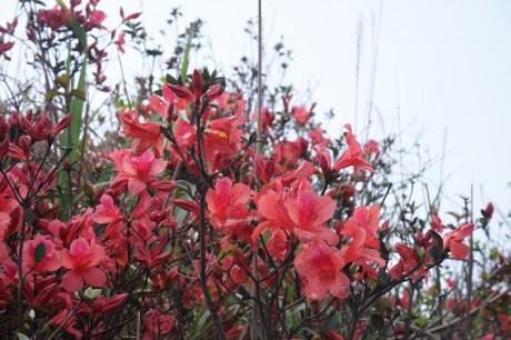 紅花寨的杜鵑盛開
