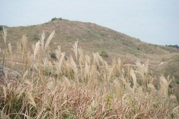 芒草遍佈山坡