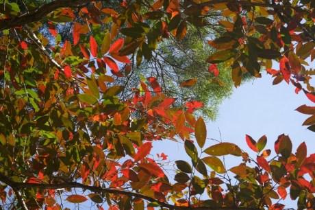 在藍田公園觀賞紅葉