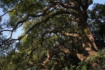 樟樹的樹冠達33米