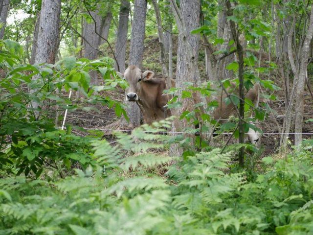 森の中を歩く牛