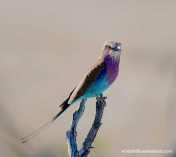 Lilac-breasted Roller, Etosha NP