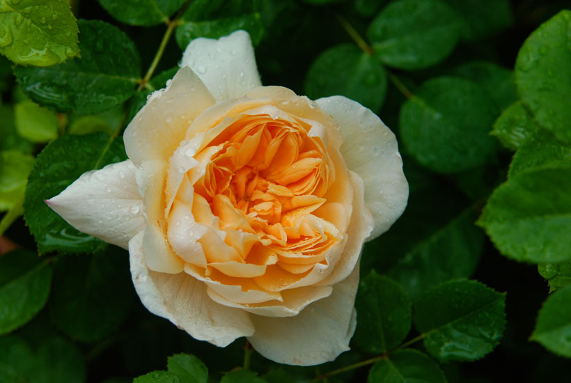 Rosa Reve D'Or © Yvonne Cornell 2009