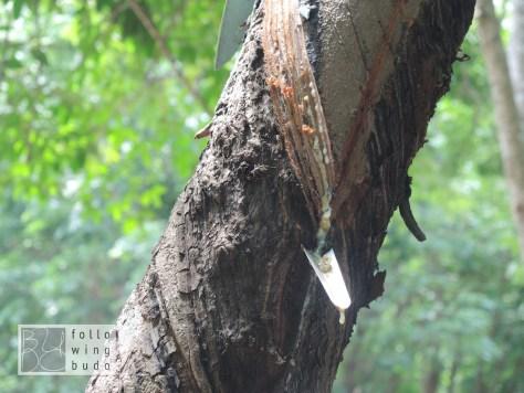 Aus der angeschnittenen Baumrinde fließt das Latex...