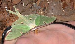 Luna Moth on my foot