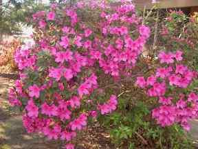 My grandma's azaleas are going a bit crazy!
