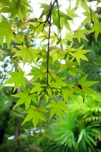 Maple leaves, yet to change colour