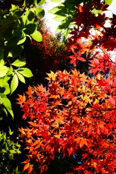 Maple leaves at Temple 82, Negoroji
