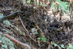 Second snake of the day, a long black snake with a yellow head