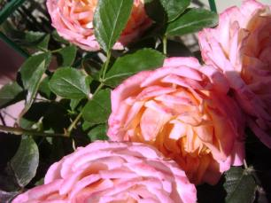 Rosa Mango