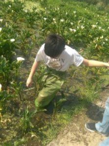 陽明山竹子湖海芋季