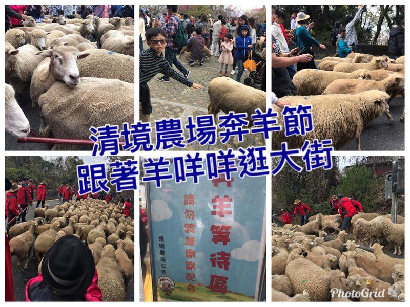 清境農場奔羊節,清境羊咩咩逛大街