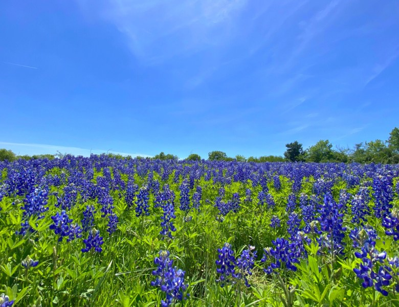 To See Bluebonnets – Road Trip in Search of Wildflowers & Whataburger