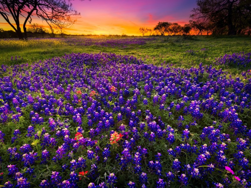 Bluebonnets! When and Where Can You Find Them in Texas