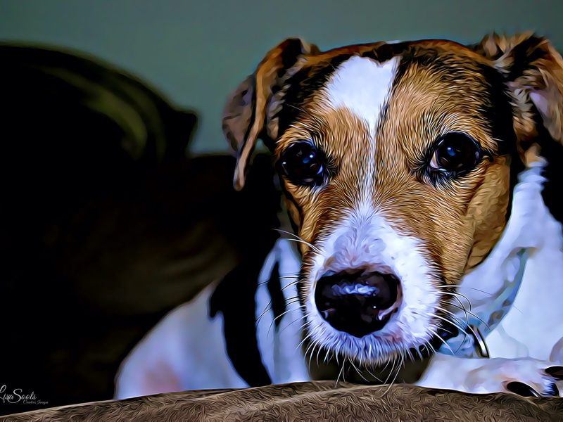 Jack Russell Quotes About Their Love, Loyalty and Zest for Life!