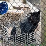Cohanzick-Zoo-Leopards-042319