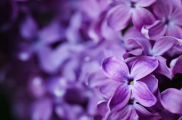 cores roxo lilás violeta significado curiosidades flor