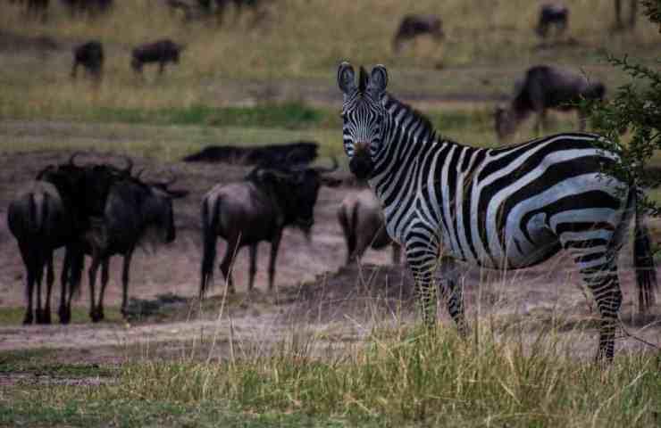 Zebra and Wildebeest Co-Exist