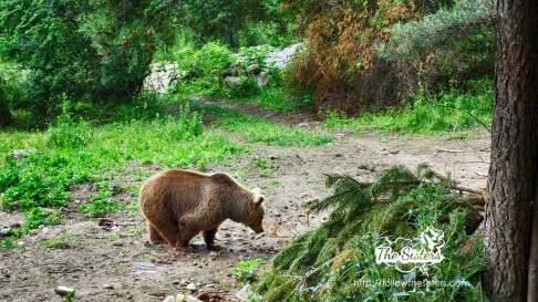 One of the bears in Belitsa