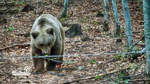One of the most hurt bears in the dancing bears park