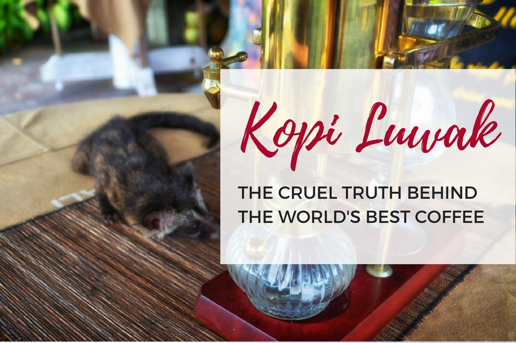 How kopi luwak is made? The cruel truth behind the world's best coffee.