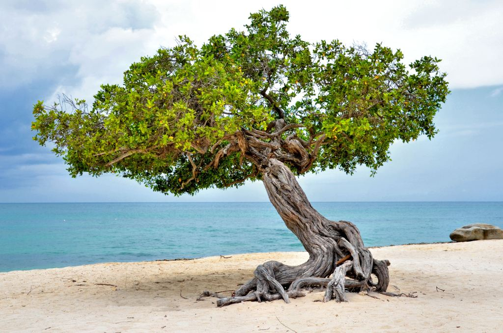 best things to do in Aruba - divi divi tree