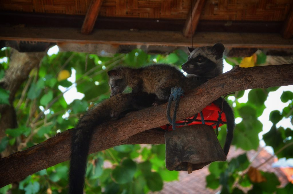 how kopi luwak is made - civet