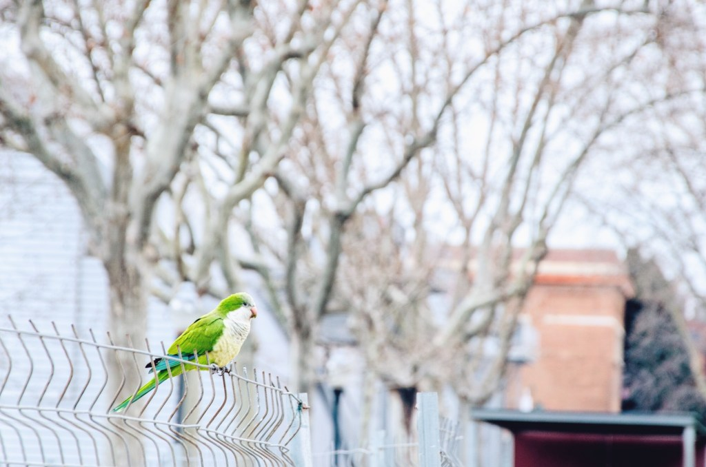 barcelona in winter - green parrots