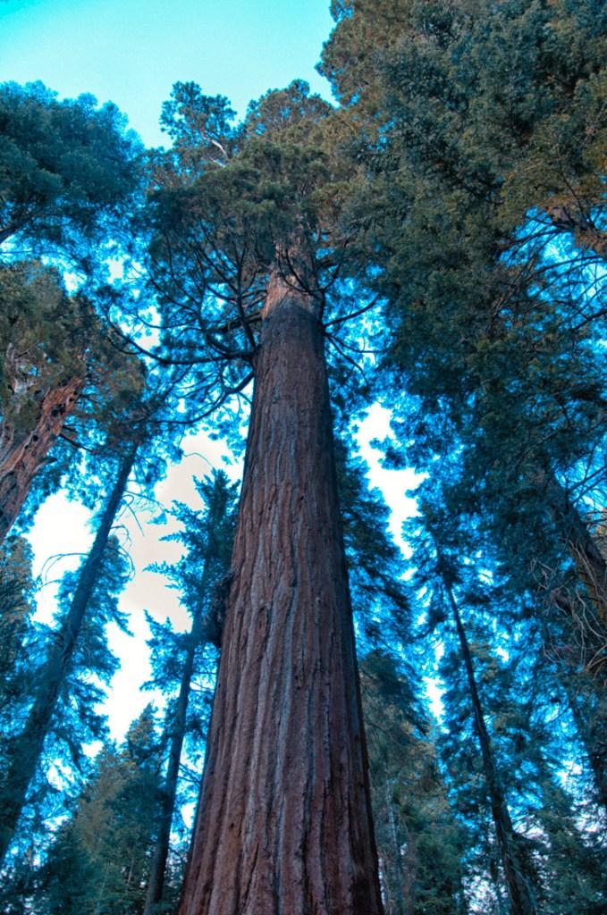 park narodowy yosemite - zwiedzanie yosemite - co zobaczyć w yosemite - Sekwoja z Mariposa Grove