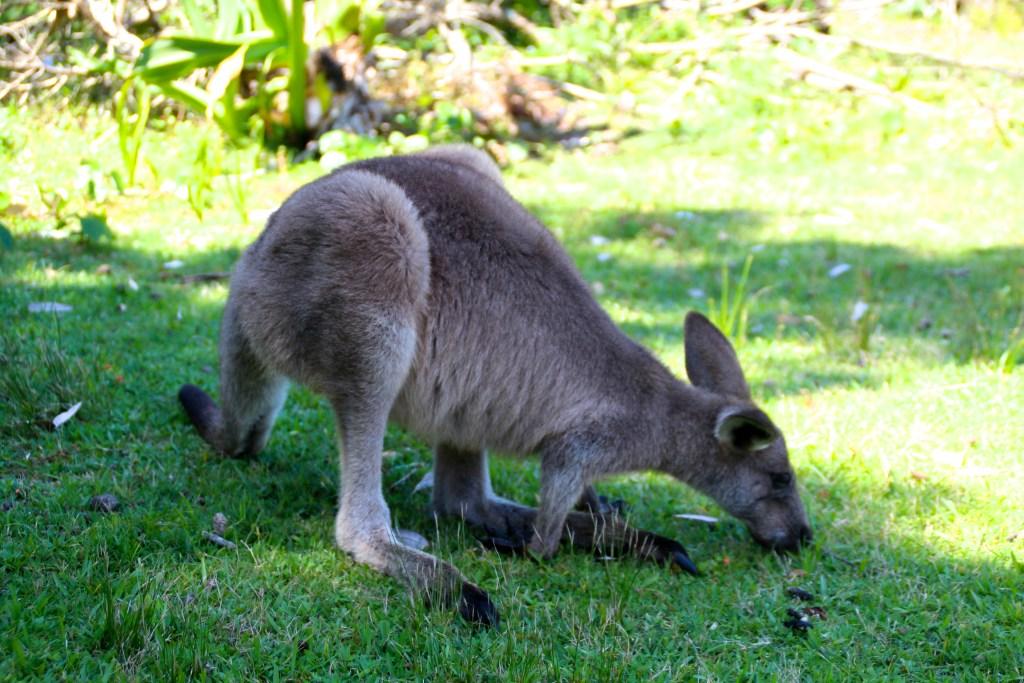 Kängurus Sydney- Melbourne