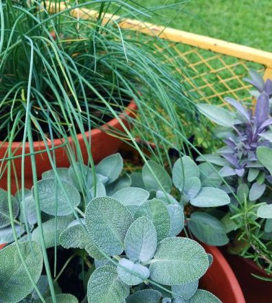 Potted Herb Garden Chives, Sage, Basil, Rosemary