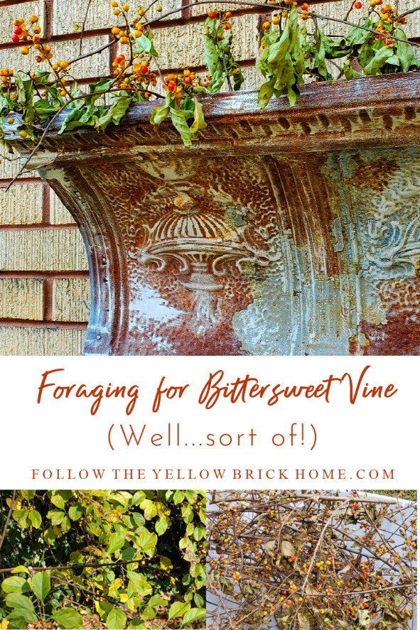 Foraging for wild bittersweet vine (oriental bittersweet) Fall Decorating ideas