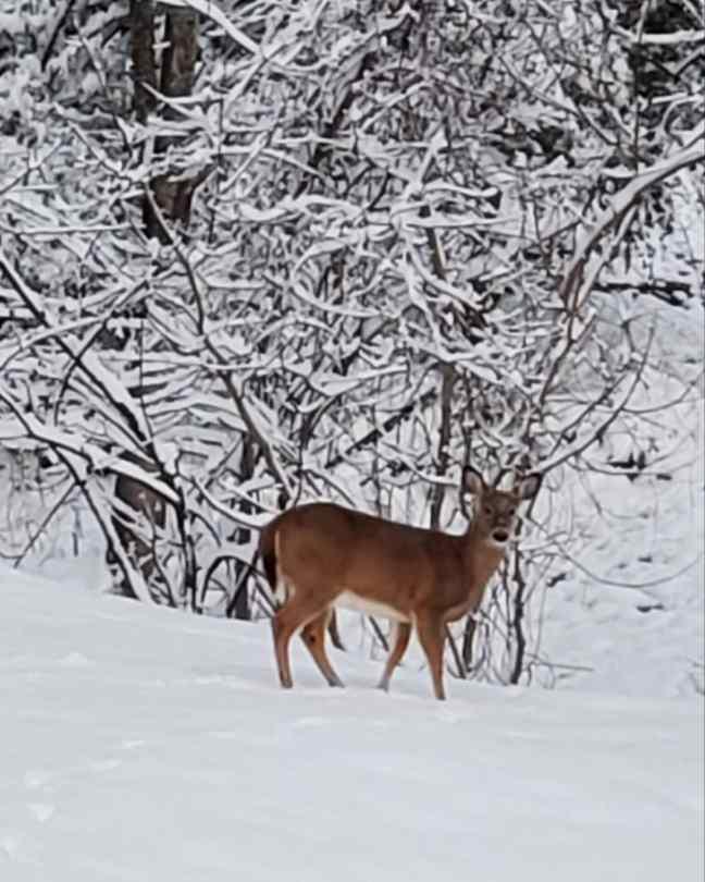 Beautiful deer in snow Kentucky white Christmas snowy scene winter scene