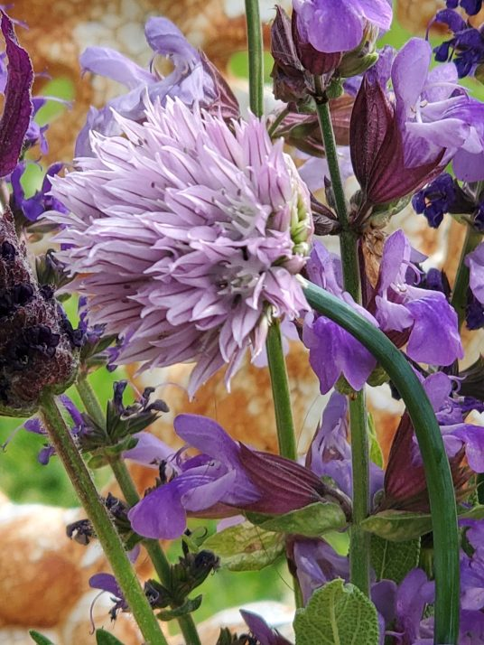 chives purple chives purple garden flowers herbs