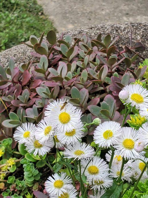 Wildflowers in the garden common daisy fleabane