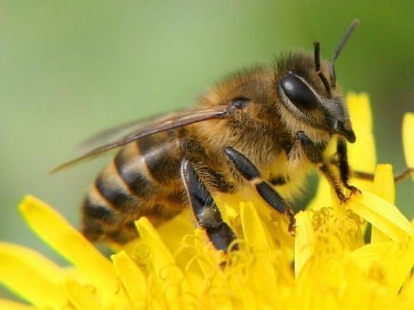 Описание пород пчел и отличия между ними