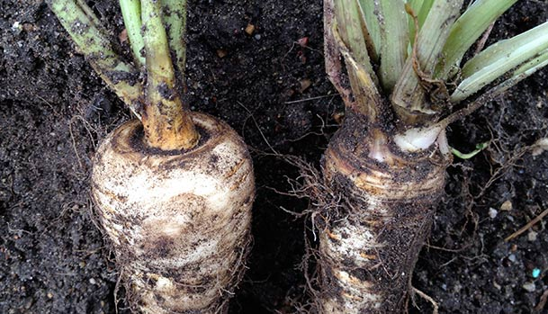 How to tell the difference between parsnip and parsley root